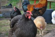 Thumbnail for the post titled: Chickens 'closer to dinosaurs' than other birds